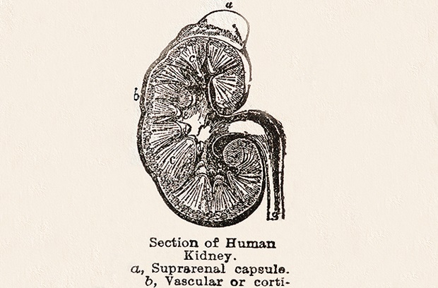 Kidney diagram with partial definition