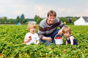 A young father and his two sons picking strawberries