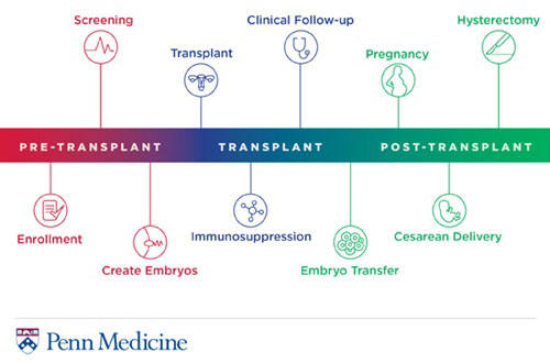 Info graphic showing the process of a uterine transplant clinical trial